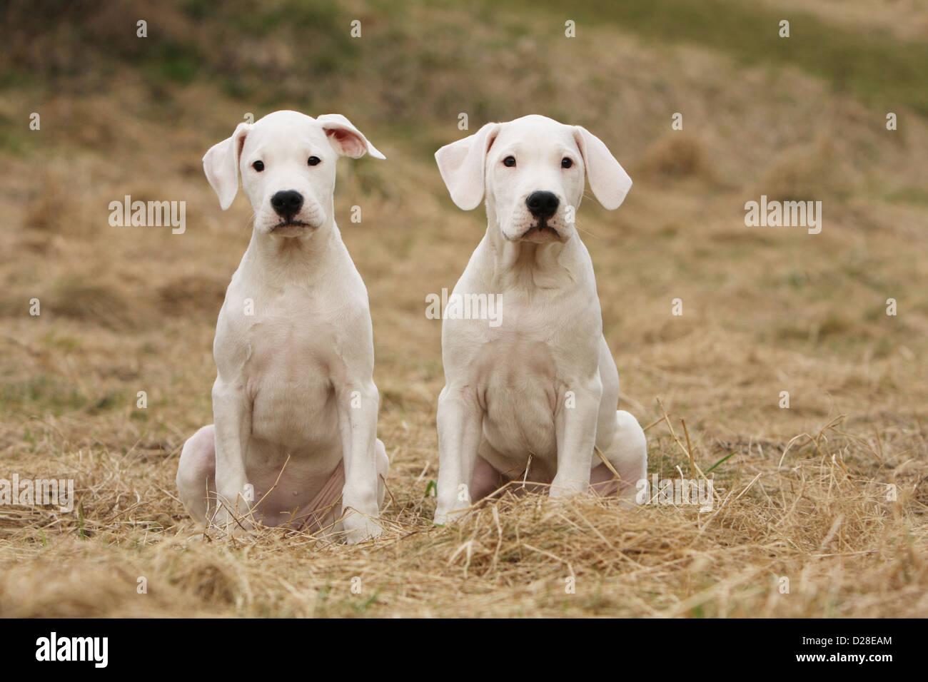 Chien Dogo Argentino / Dogue Argentin (oreilles naturelles) deux chiots assis Banque D'Images