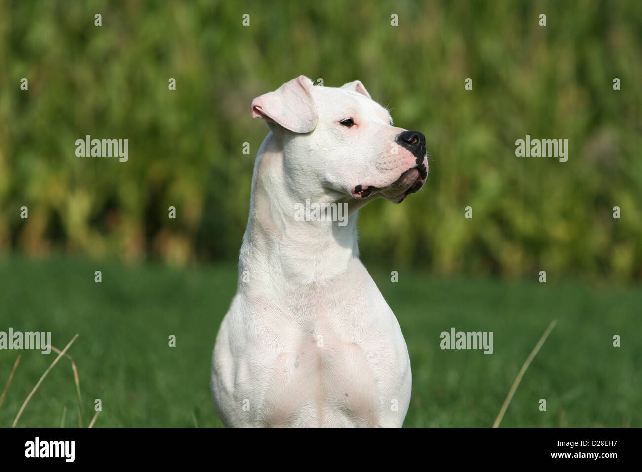Chien Dogo Argentino / Dogue Argentin (oreilles naturelles) portrait adultes Photo Stock