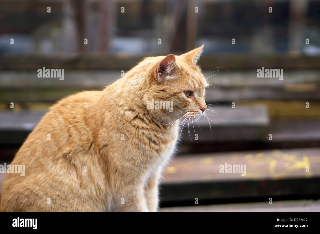 Belle golden tabby cat en mode Prédateur au Gloucester Docks sous un ciel couvert journée d'hiver. Photo Stock