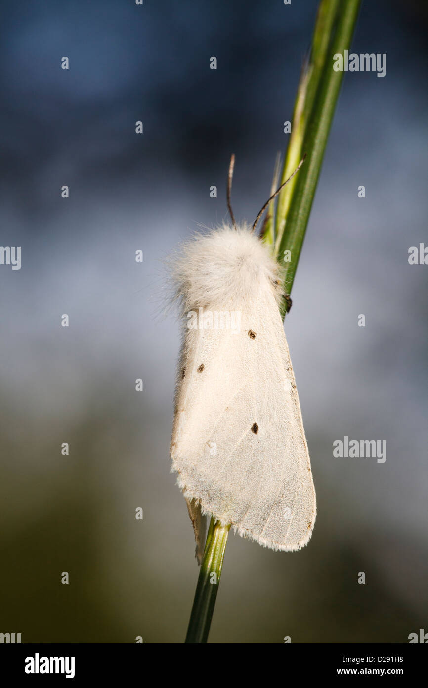 Diaphora mendica (mousseline) femelle adulte reposant sur une tige d'herbe. Pyrénées-Orientales, France. Photo Stock