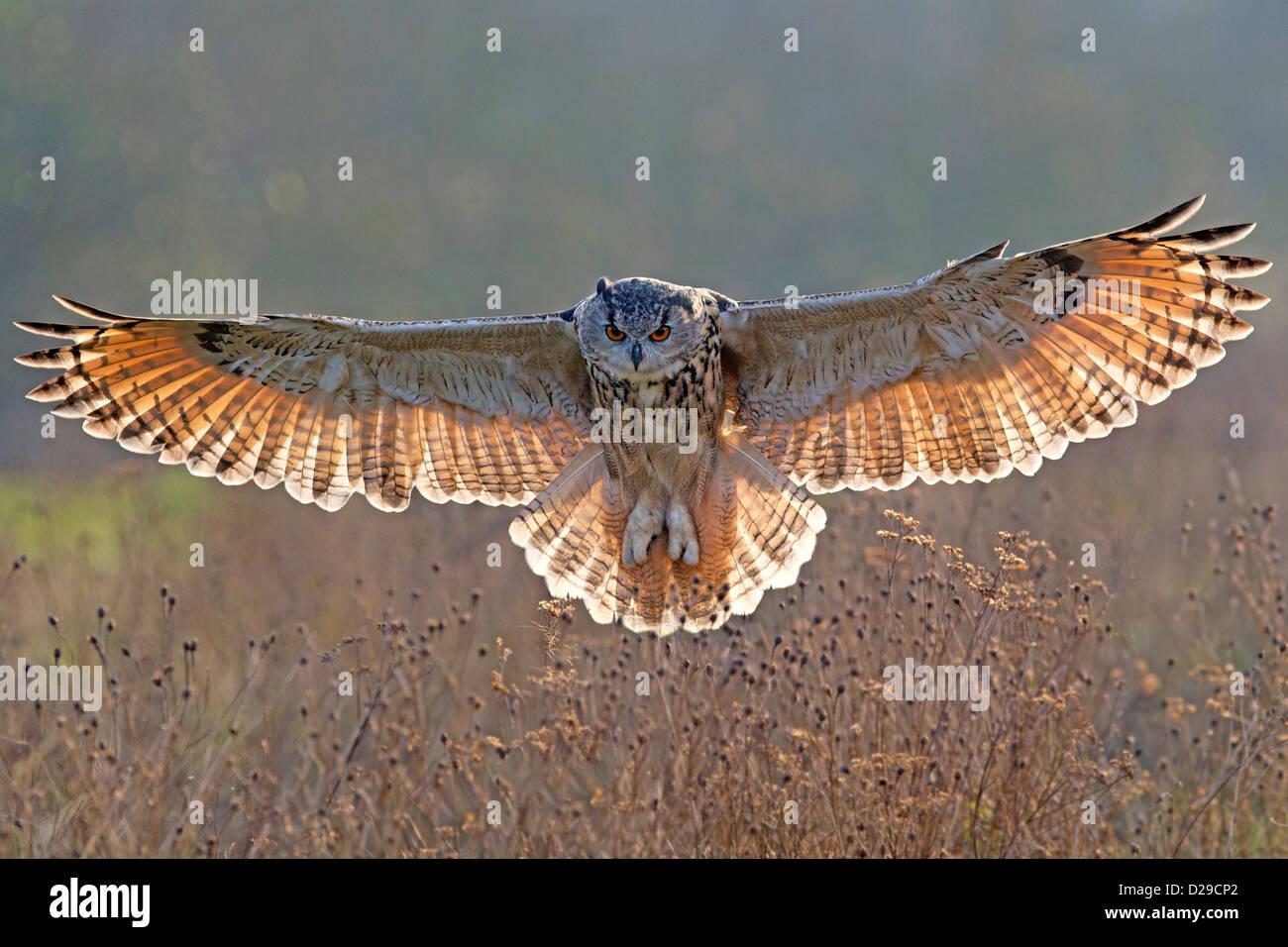 Grand-duc d'Europe avec des ailes déployées, rétroéclairé Photo Stock