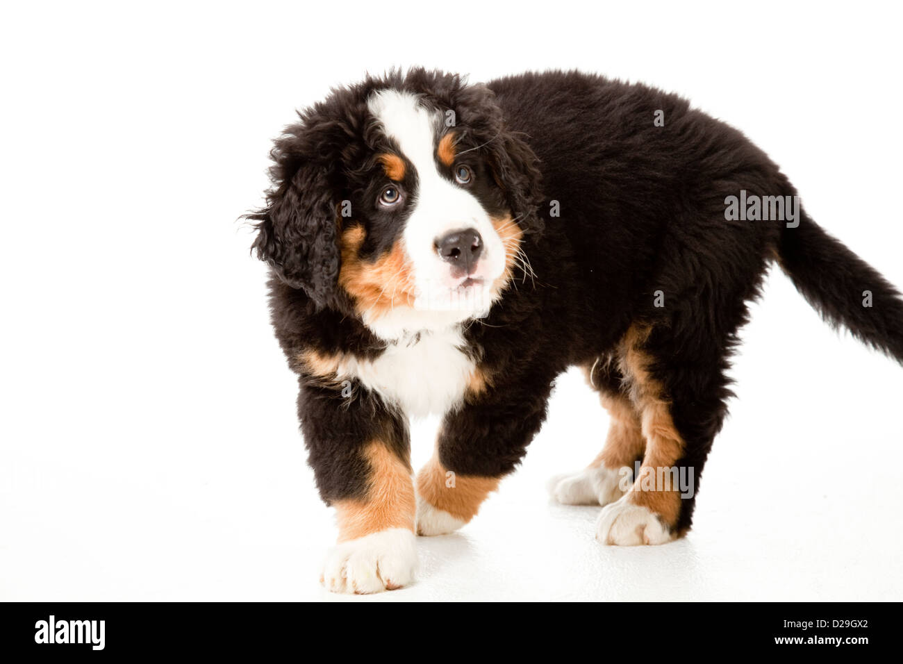 10 semaines chiot Photo Stock