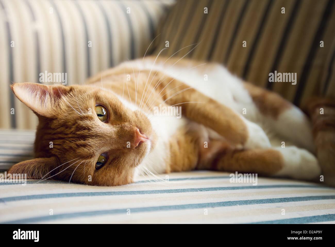 Un chat paresseux repose sur une table dans la lumière du soleil Photo Stock