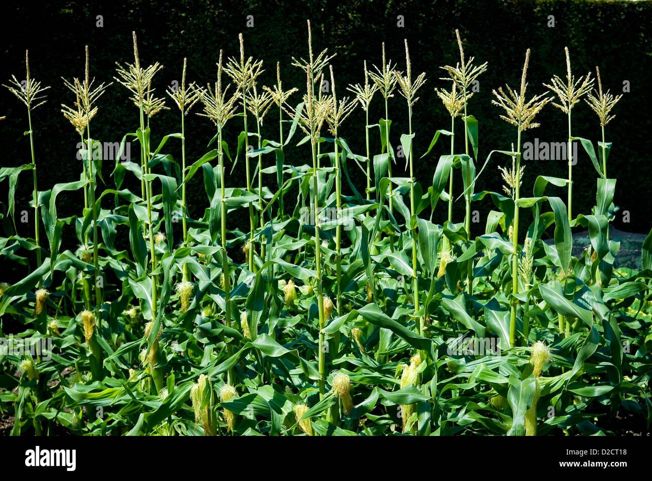 Le maïs (maïs sucré) croissant à West Dean Gardens, Chichester, West Sussex, UK Photo Stock