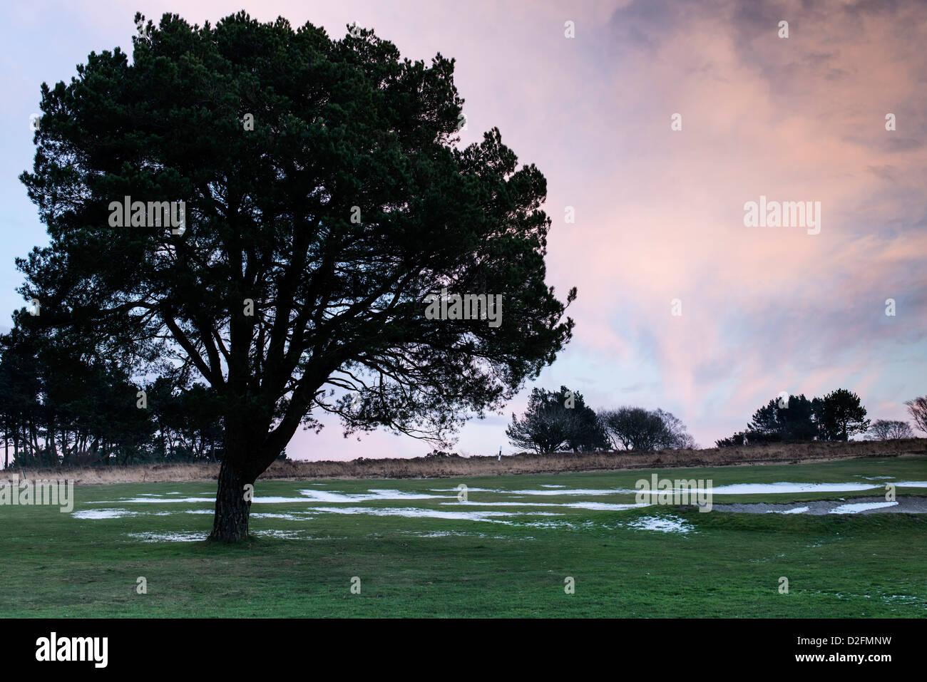 Teignmouth, Devon, Angleterre. Le 21 janvier 2013. Un arbre isolé sur un terrain de golf au milieu de l'hiver Photo Stock