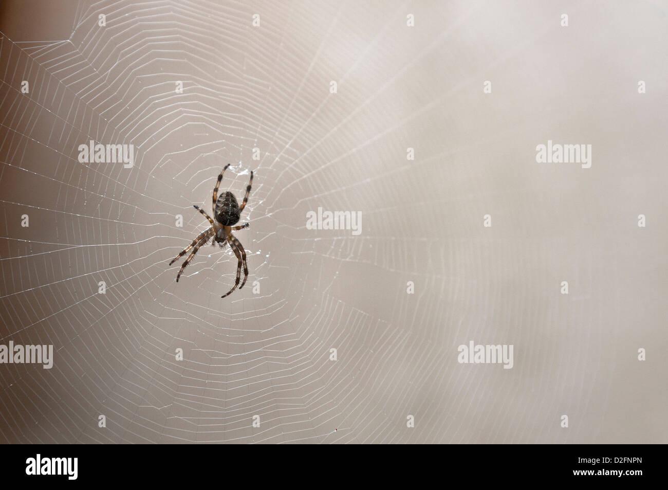 Jardin commun araignée sur sa toile d'araignée, UK Photo Stock