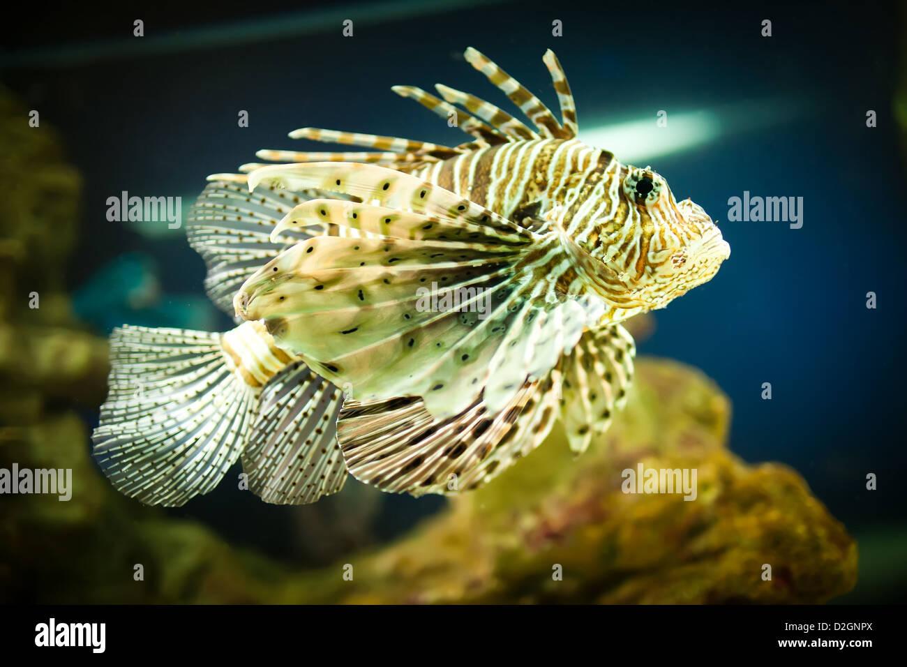 Pterois radiata dans un aquarium sur un fond vert Banque D'Images