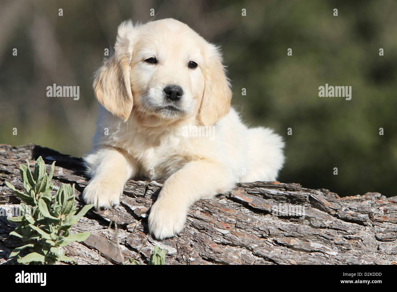 Chien chiot Golden Retriever couché sur un bois Photo Stock
