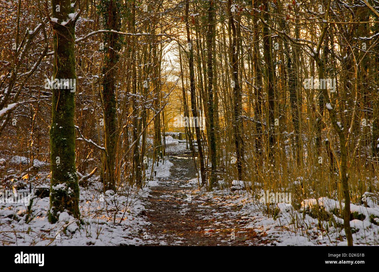 Après-midi d'hiver dans les bois près de Windermere, Parc National de Lake District, Cumbria, Angleterre, Royaume-Uni Banque D'Images