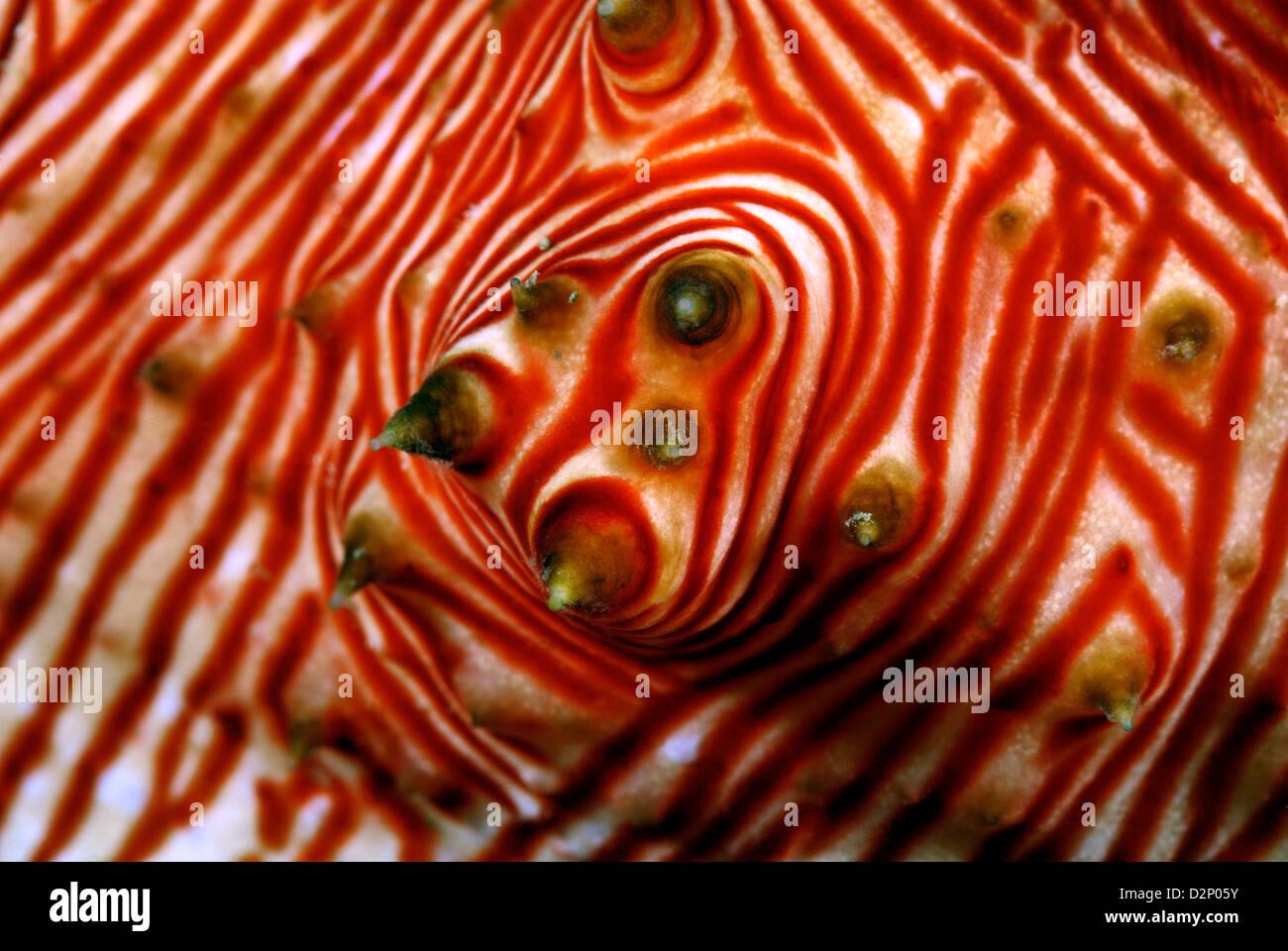 Thelenota rubralineata holothurie détail de papilles et pieds tubulaires, Loloata; mer de corail, l'océan Photo Stock