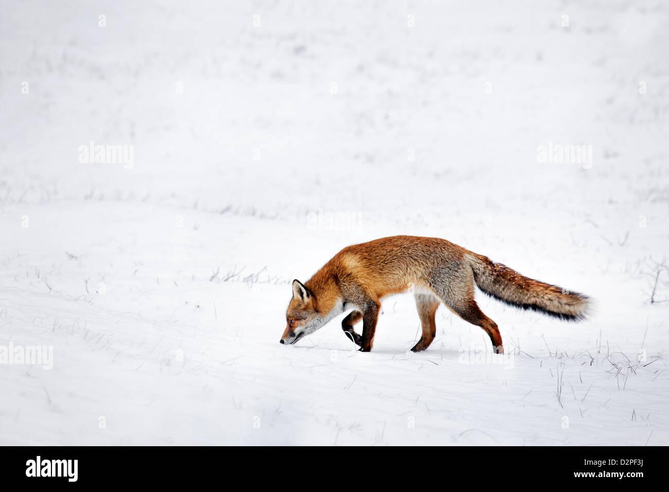 La chasse le renard roux (Vulpes vulpes) à la suite de l'odeur par sentier des proies dans les prairies couvertes de neige en hiver Banque D'Images