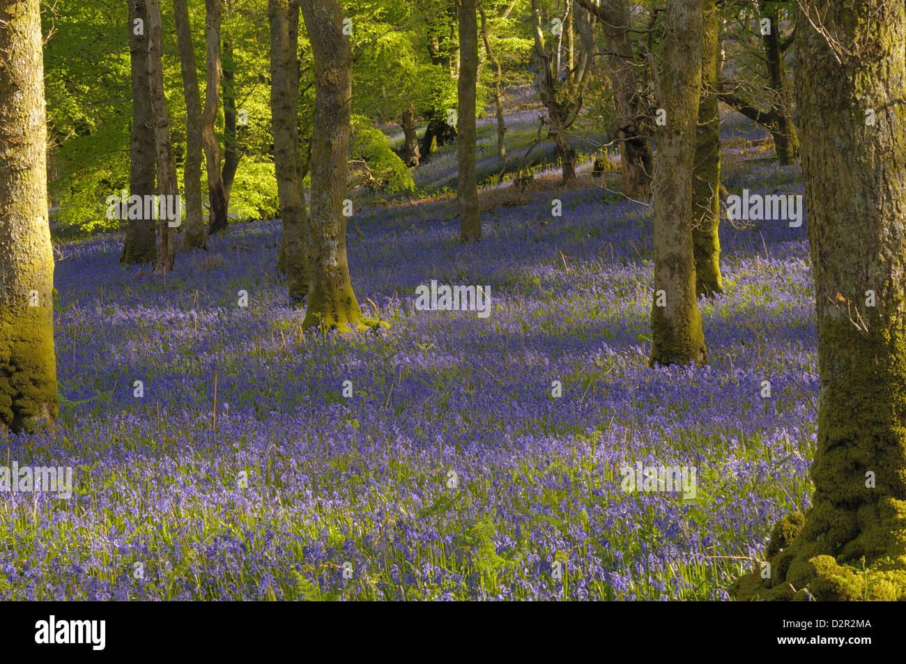 Dans Carstramon jacinthes des bois, Dumfries et Galloway, Écosse, Royaume-Uni, Europe Photo Stock