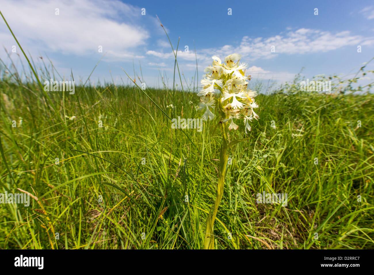 Les rares Platanthère blanchâtre de l'Ouest dans le Parc National de Sheyenne, Dakota du Nord, USA Photo Stock