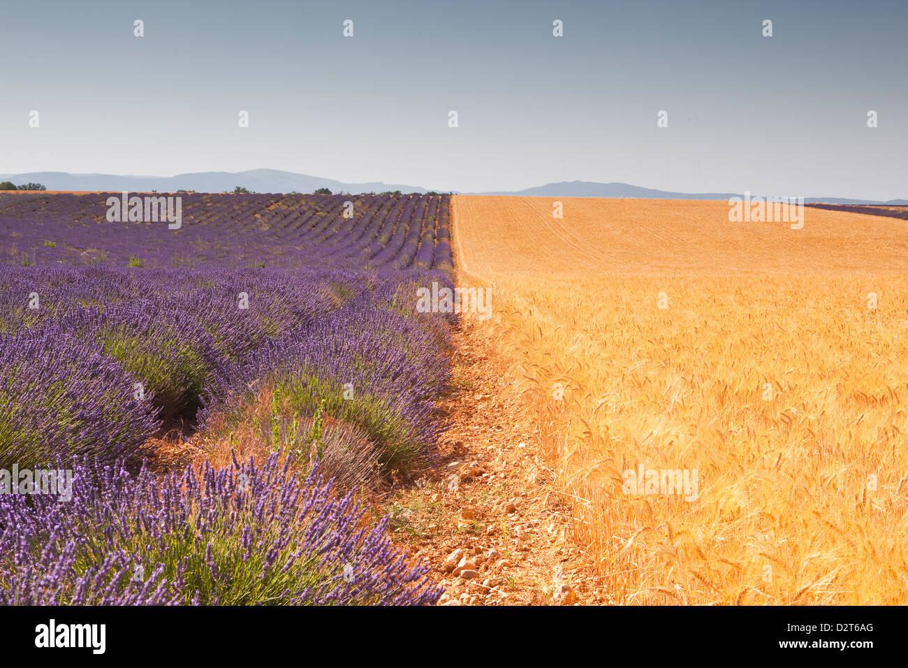La lavande et la culture du blé côte à côte sur le Plateau de Valensole en Provence, France, Photo Stock