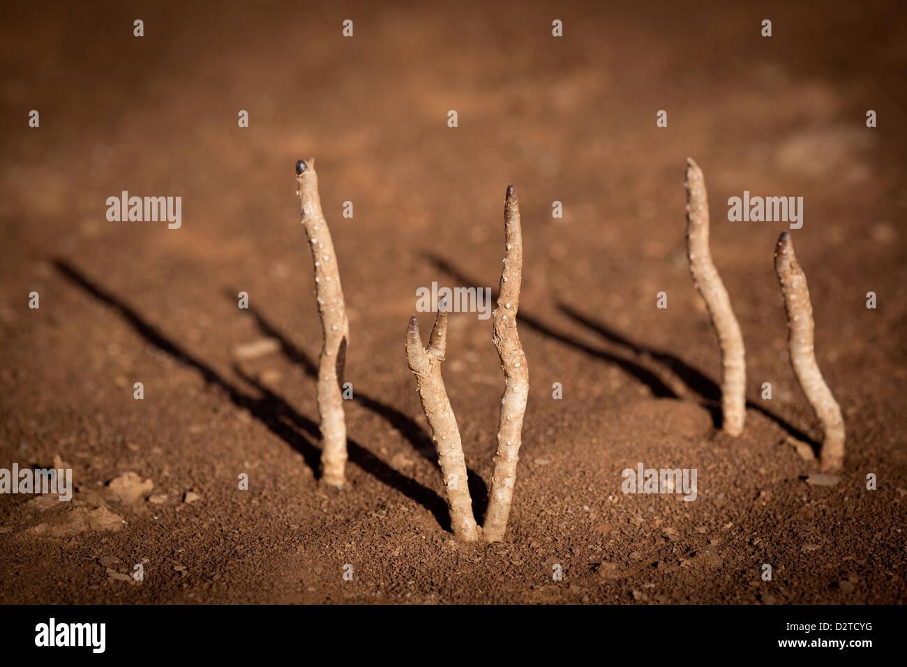 Les petites plantes dans le sol sec de Sarigua national park (désert), Herrera province, République du Photo Stock