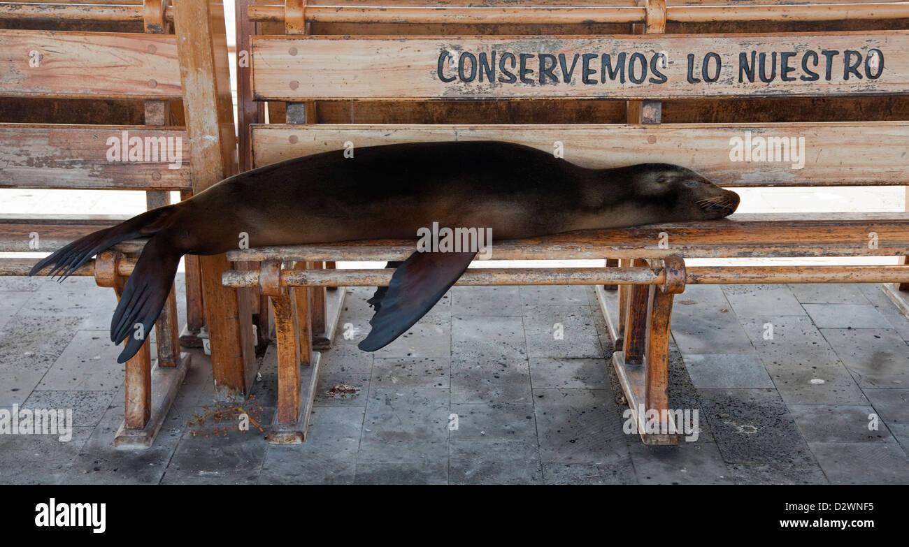 Lion de mer Galapagos snoozing sur banc avec logo de la conservation sur le front de mer à Puerto Baquerizo Photo Stock