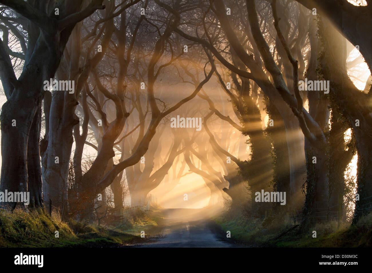 La lumière du matin s'allumer l'arbre de l'avenue est connu sous le nom de the Dark Hedges en Irlande du Nord. Banque D'Images