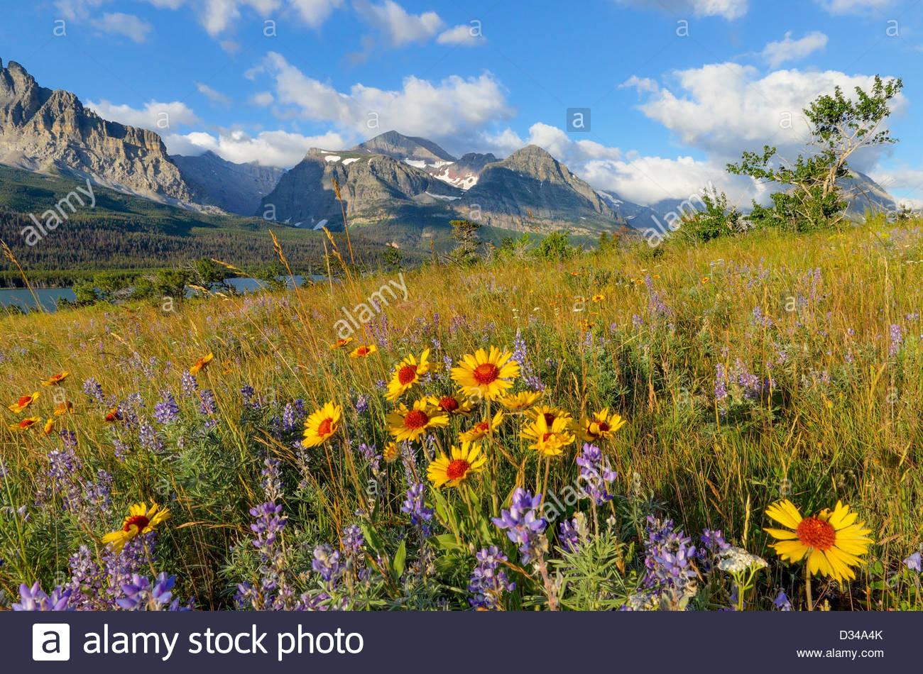 Fleurs sauvages des prairies, une couverture fleur et lupin, un grand nombre de champ de glaciers Glacier National Photo Stock