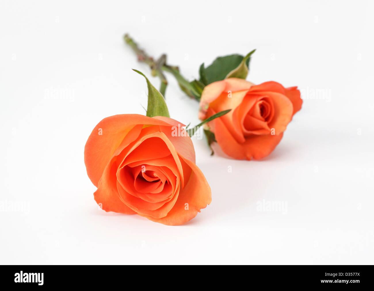 Deux roses orange sur fond blanc Photo Stock
