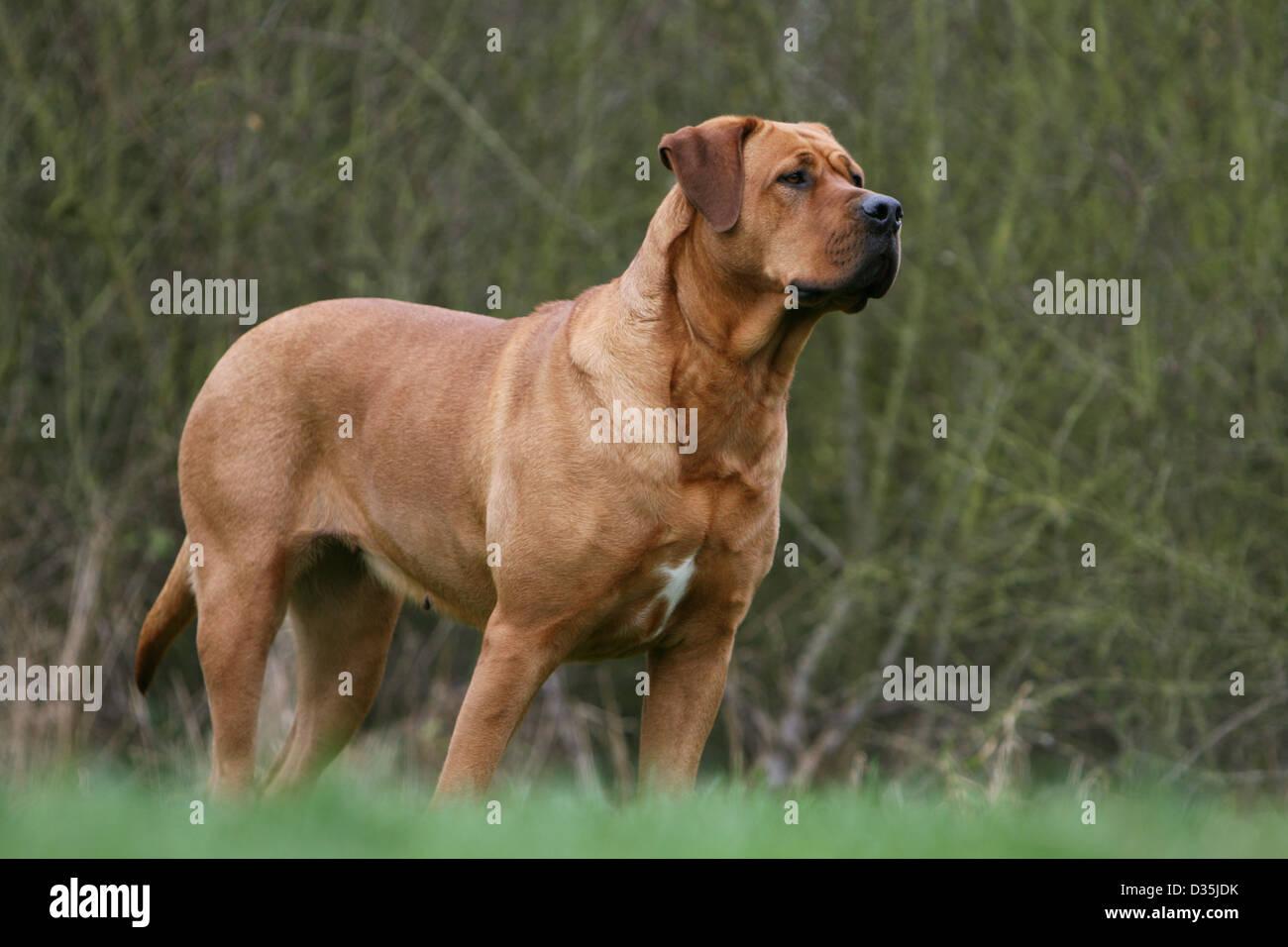 chien tosa inu / mastiff japonais des profils dans un pré banque d