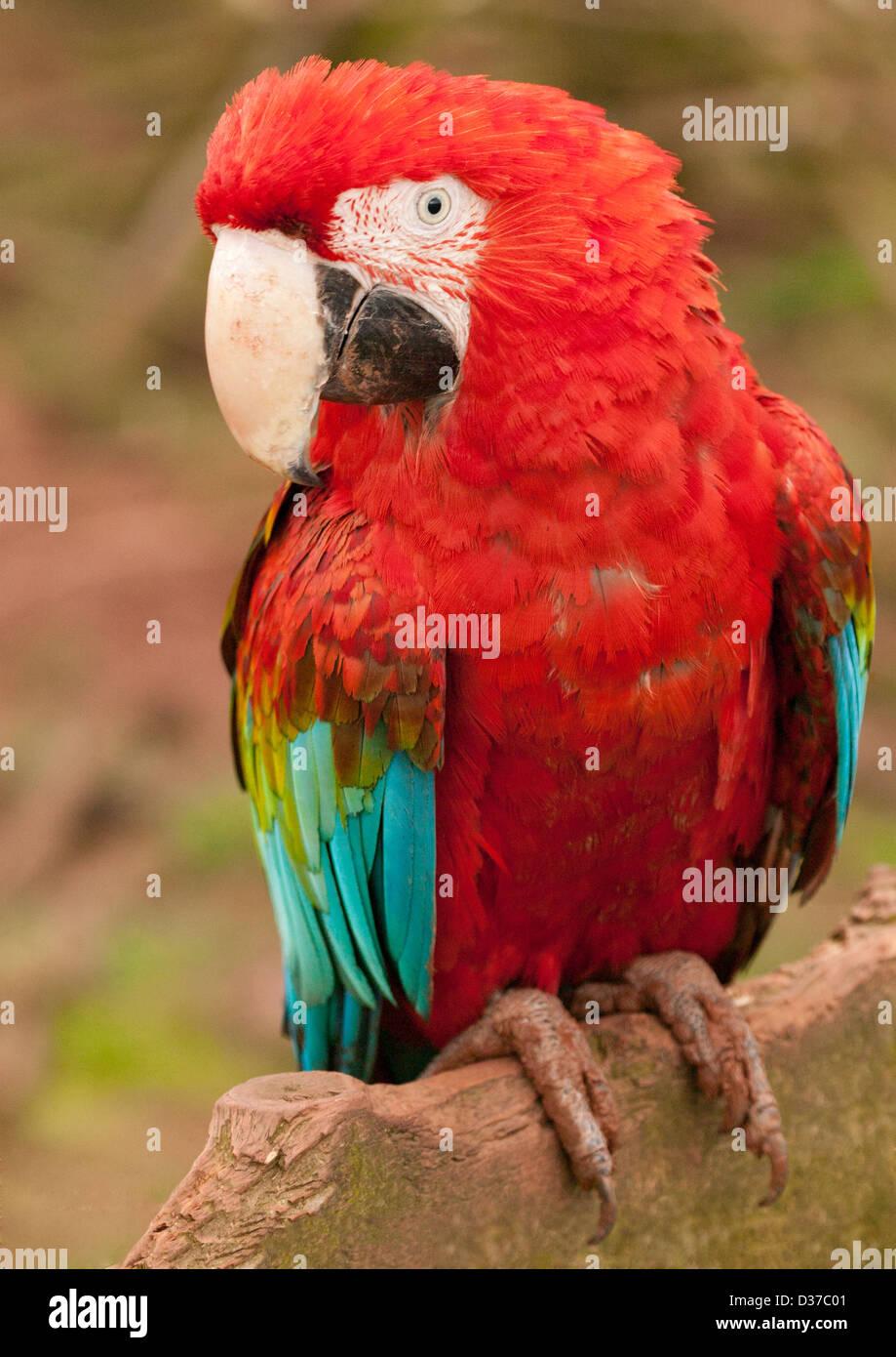 Ara aile verte, rouge et vert, rouge et de l'Ara Ara bleu Ara chloroptera ( ) perché sur journal boueux Banque D'Images