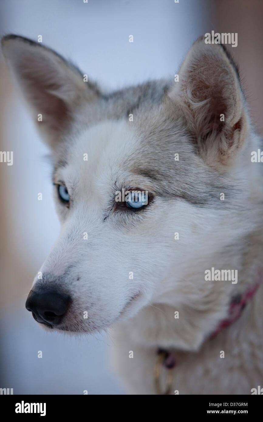 Portrait de Husky, Laponie Banque D'Images