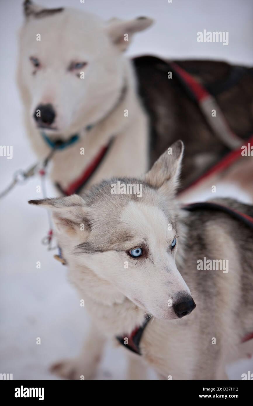 Portrait de deux chiens, Laponie Banque D'Images
