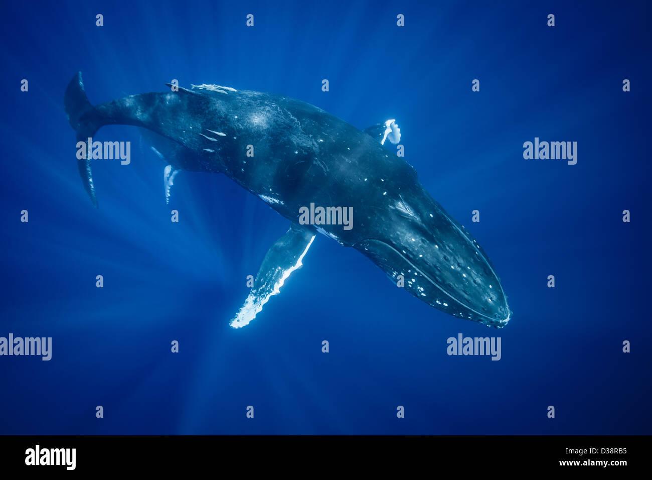 Baleine à bosse nager sous l'eau Photo Stock