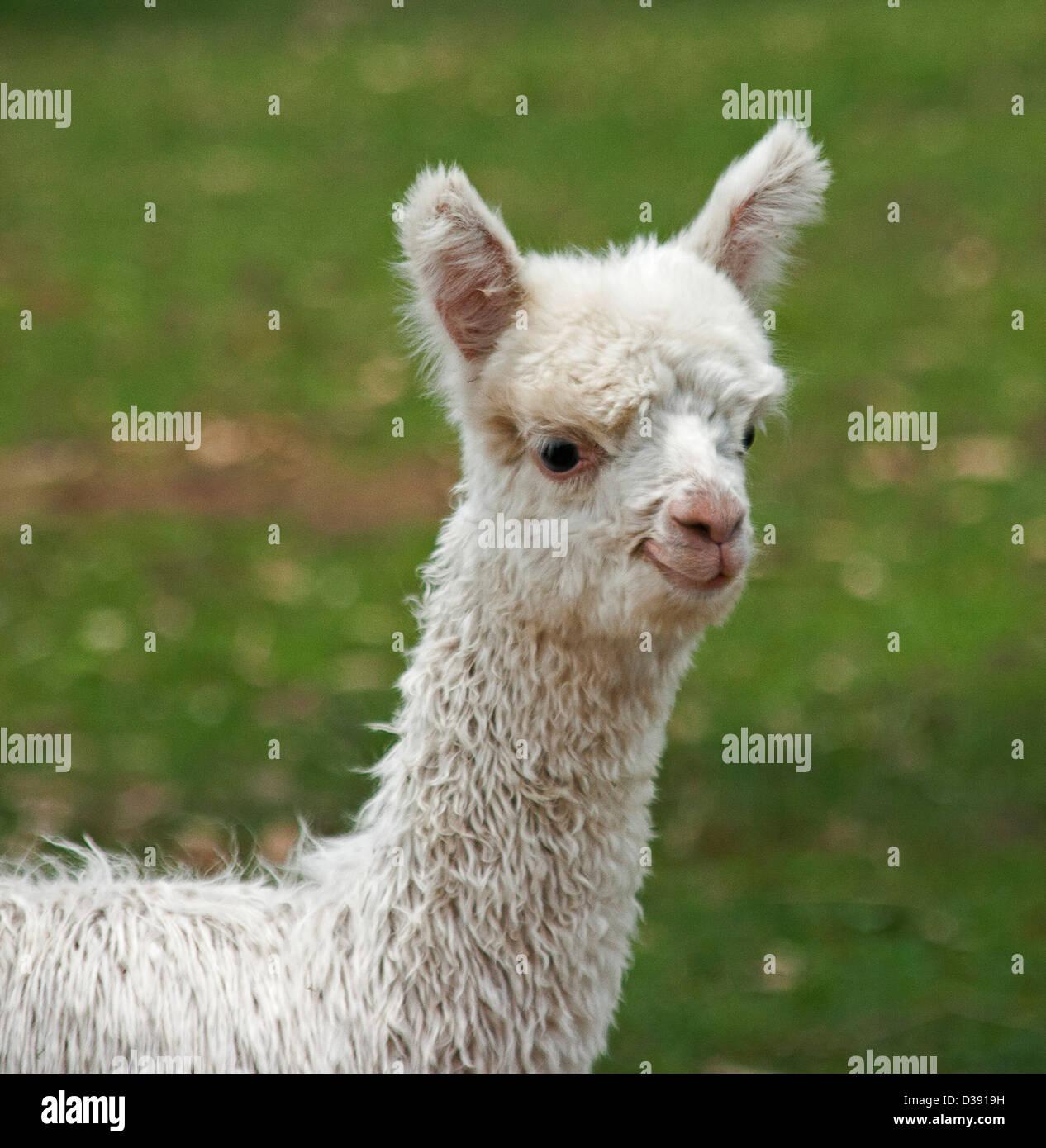 Close up de la tête et le visage de jeune alpaca - cria - contre un fond vert sombre Photo Stock