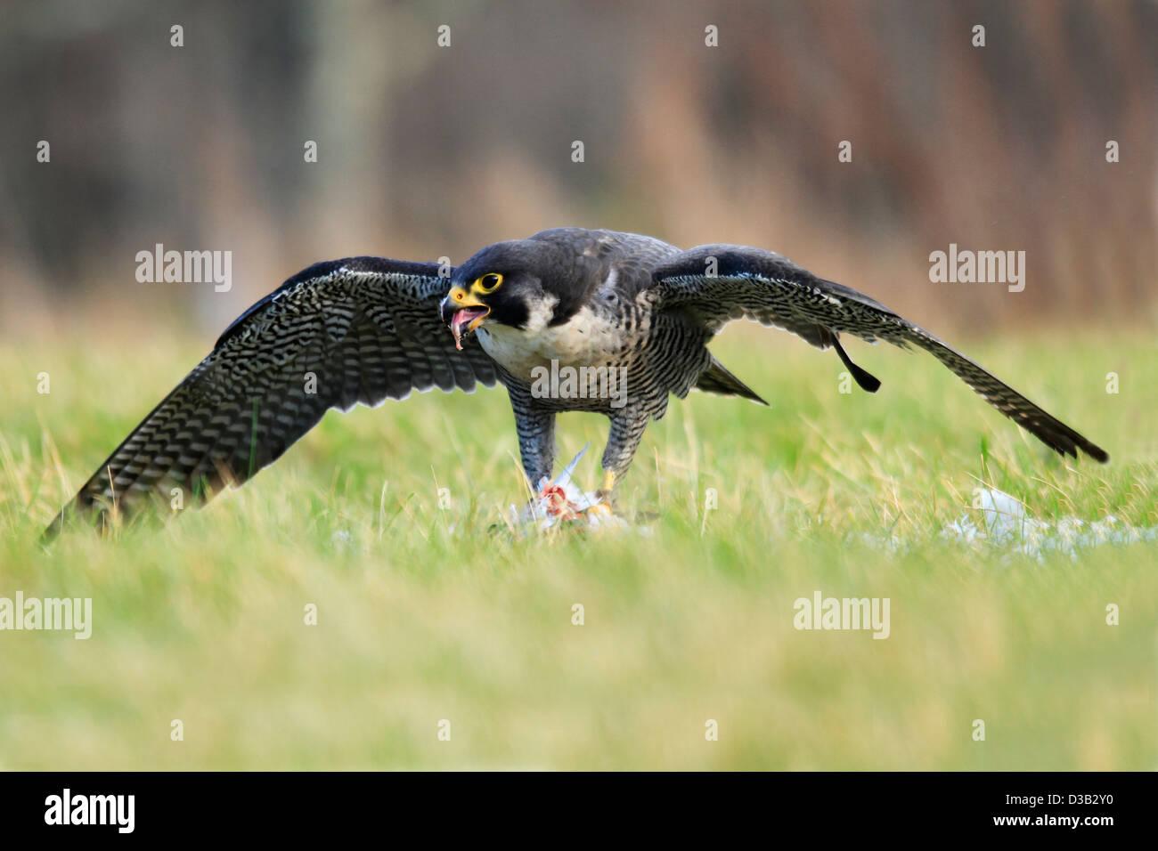 Le Faucon pèlerin dans les Highlands écossais Photo Stock