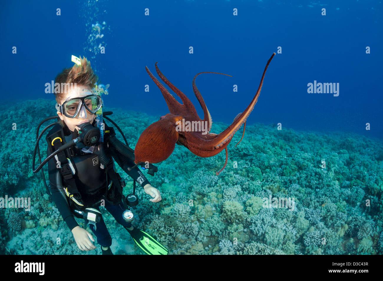 Plongeur, Sean Fleetham (MR), obtient son premier regard sur une journée, octopus Octopus cyanea, Maui, Hawaii. Photo Stock