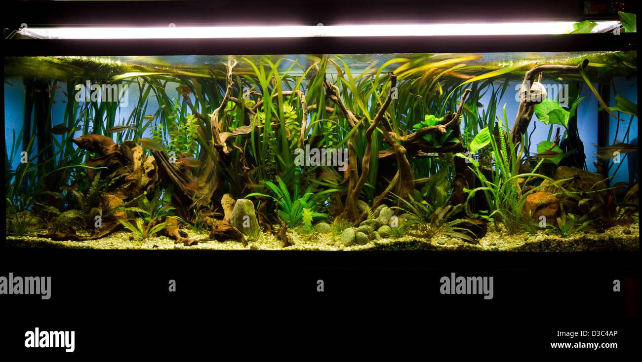 Un magnifique aquarium d'eau douce tropicaux plantés. Photo Stock