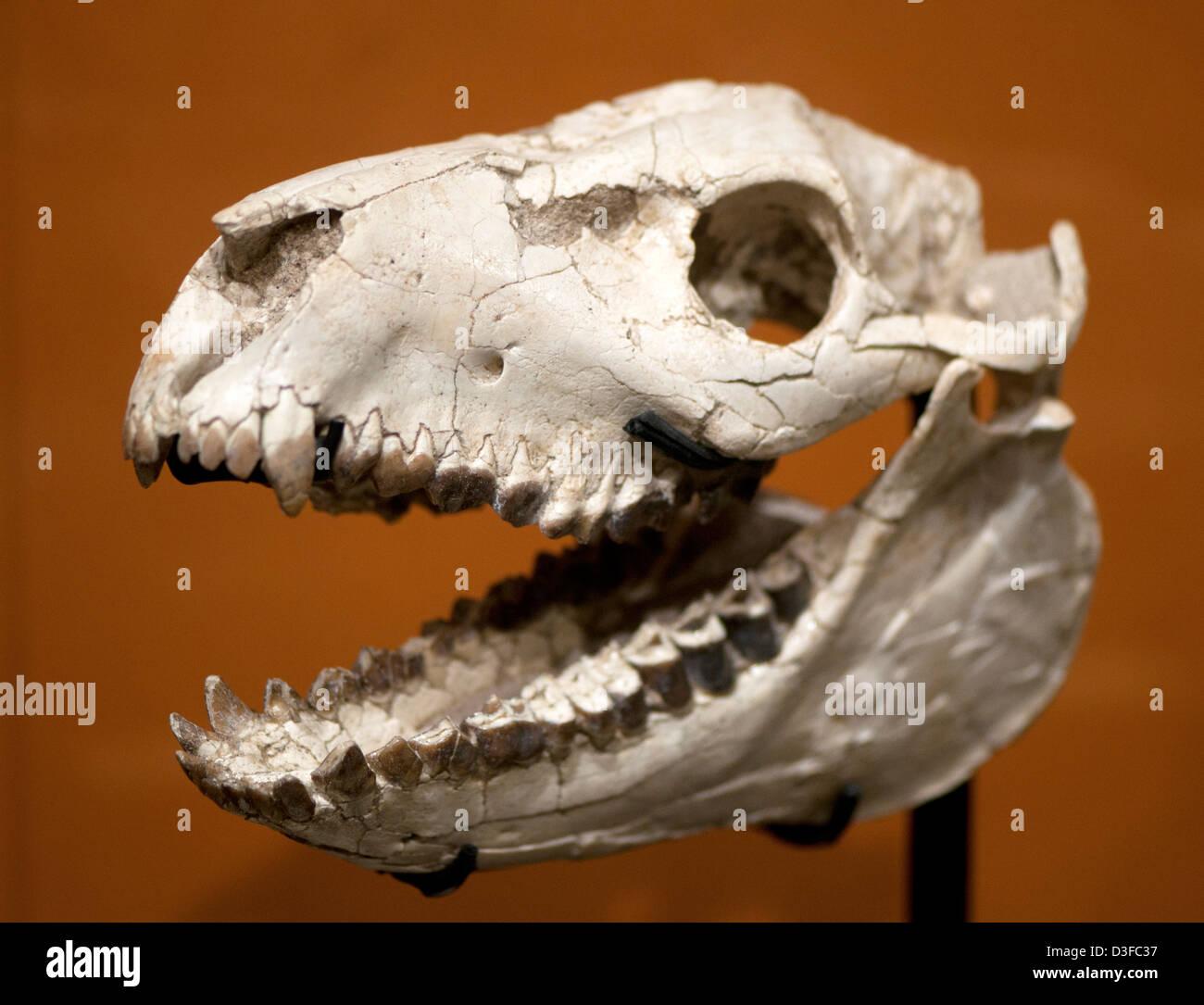 Crâne d'un Oreodont Mesoreodon, sp., une espèce de mammifères à sabots Banque D'Images