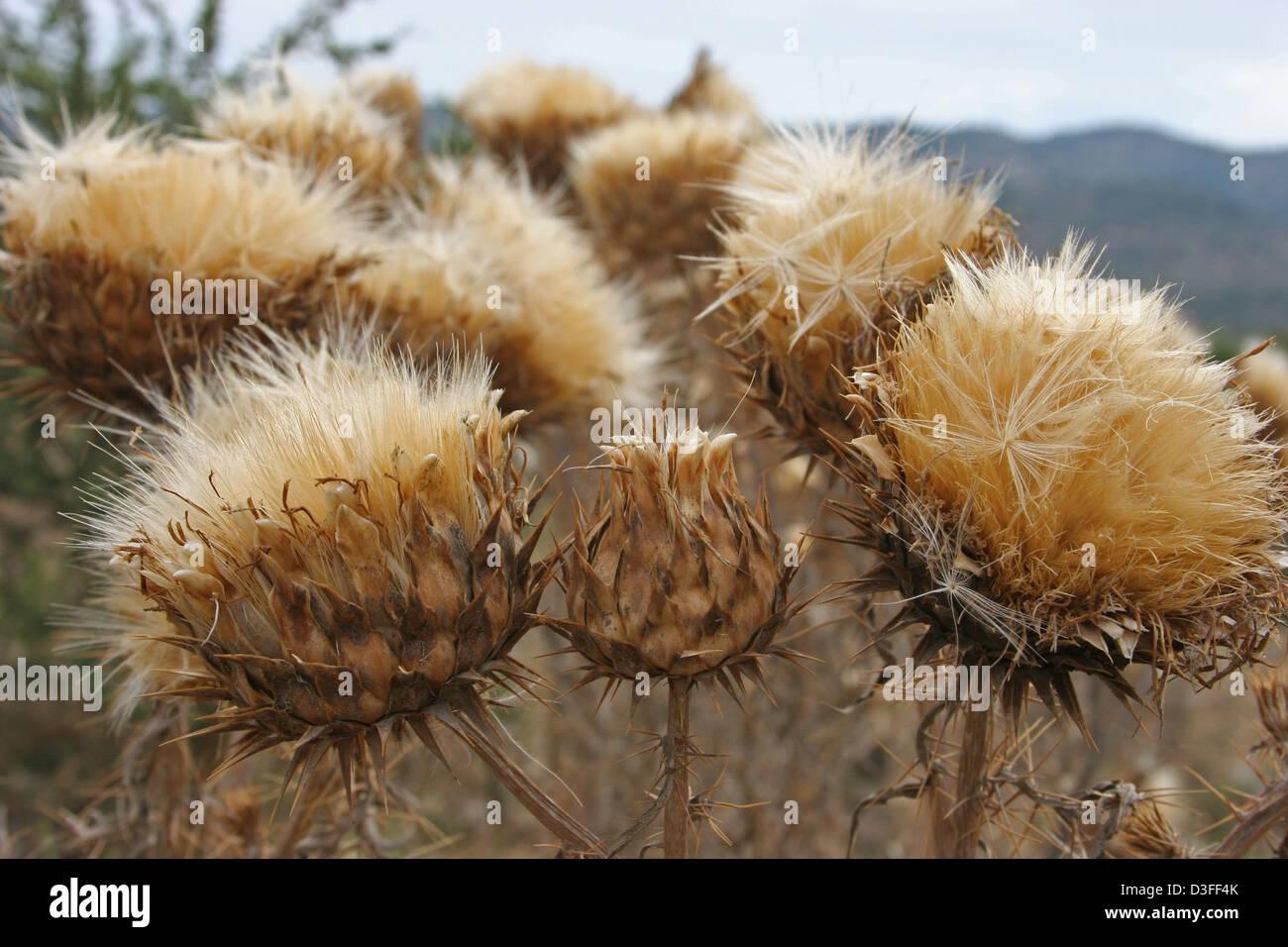 Fleurs De Chardon Geant Graines De Fleurs Sechees Banque D Images