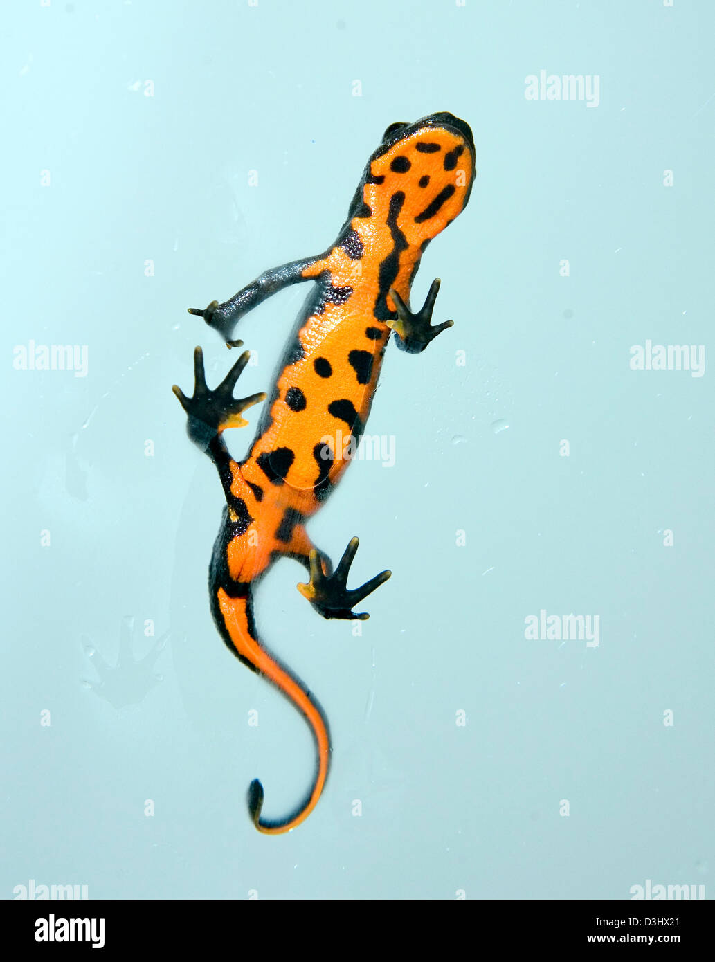 Un incendie Bellied Newt à Folly farm Pembrokeshire dans l'ouest du pays de Galles. Photo Stock