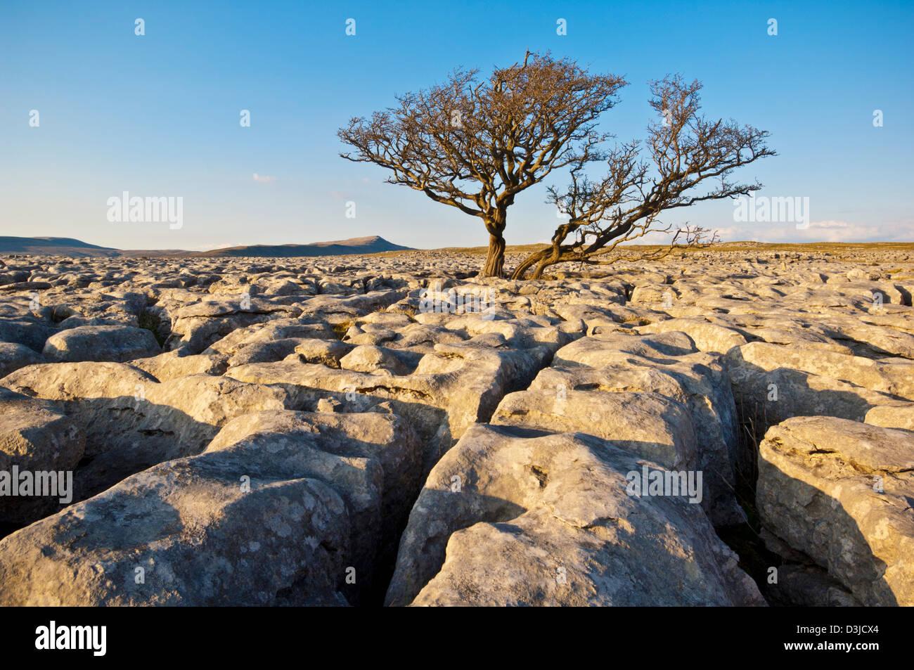 La plantation d'arbres à travers le Lapiez à White Scars, Yorkshire, England, GB, le Royaume-Uni, Photo Stock