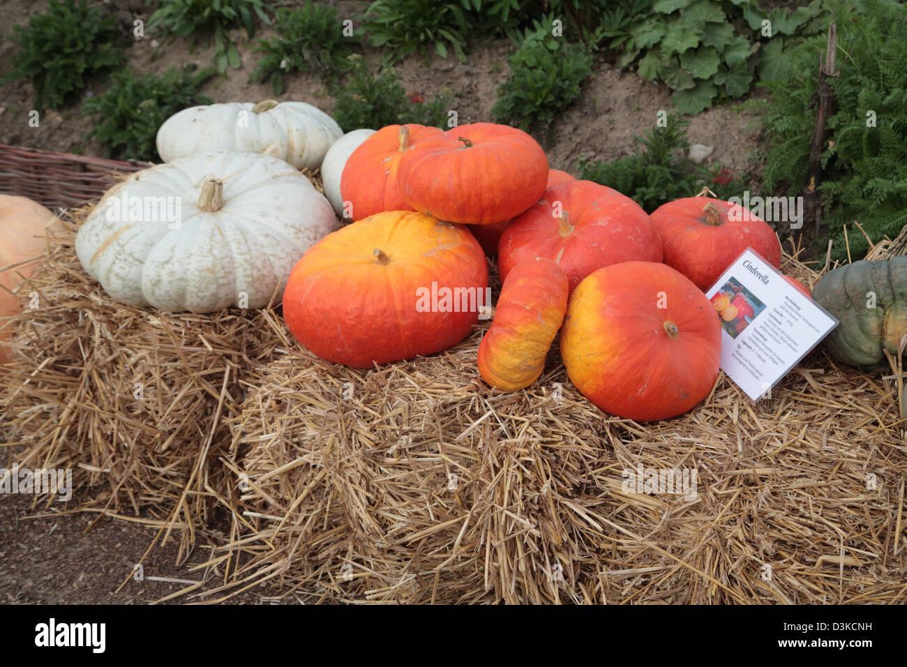 25 Graines Légumes-Potiron-Hundredweight