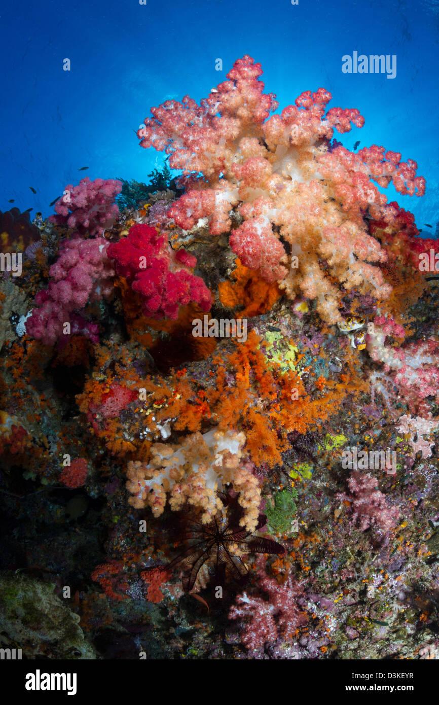 En corail mou de Raja Ampat, en Indonésie. Photo Stock