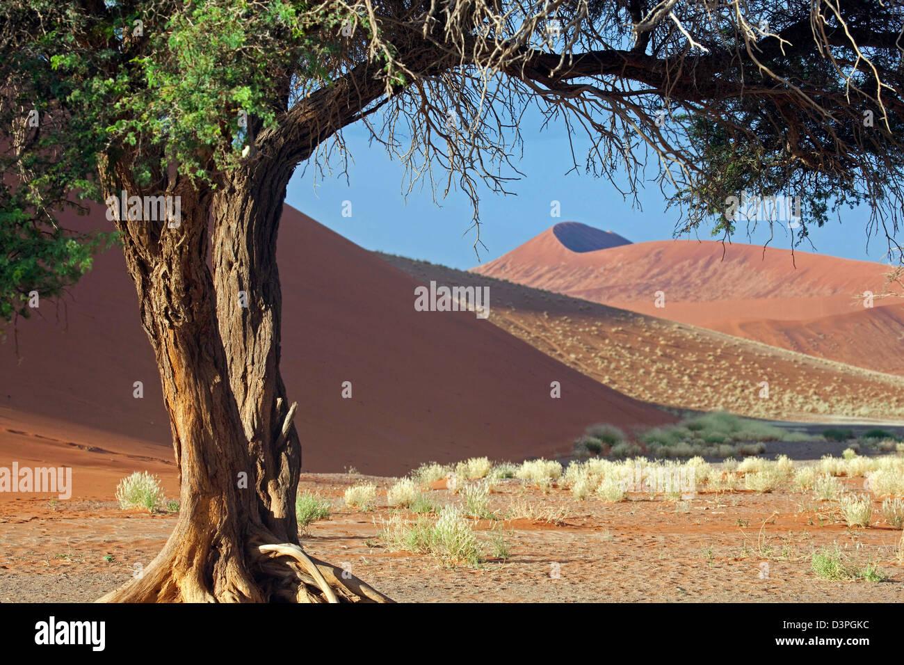 Acacia dans le désert du Namib Namib-Naukluft, à Sossusvlei, Namibie, Afrique du Sud Photo Stock