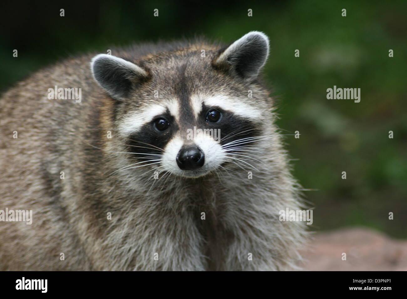 raton laveur Photo Stock