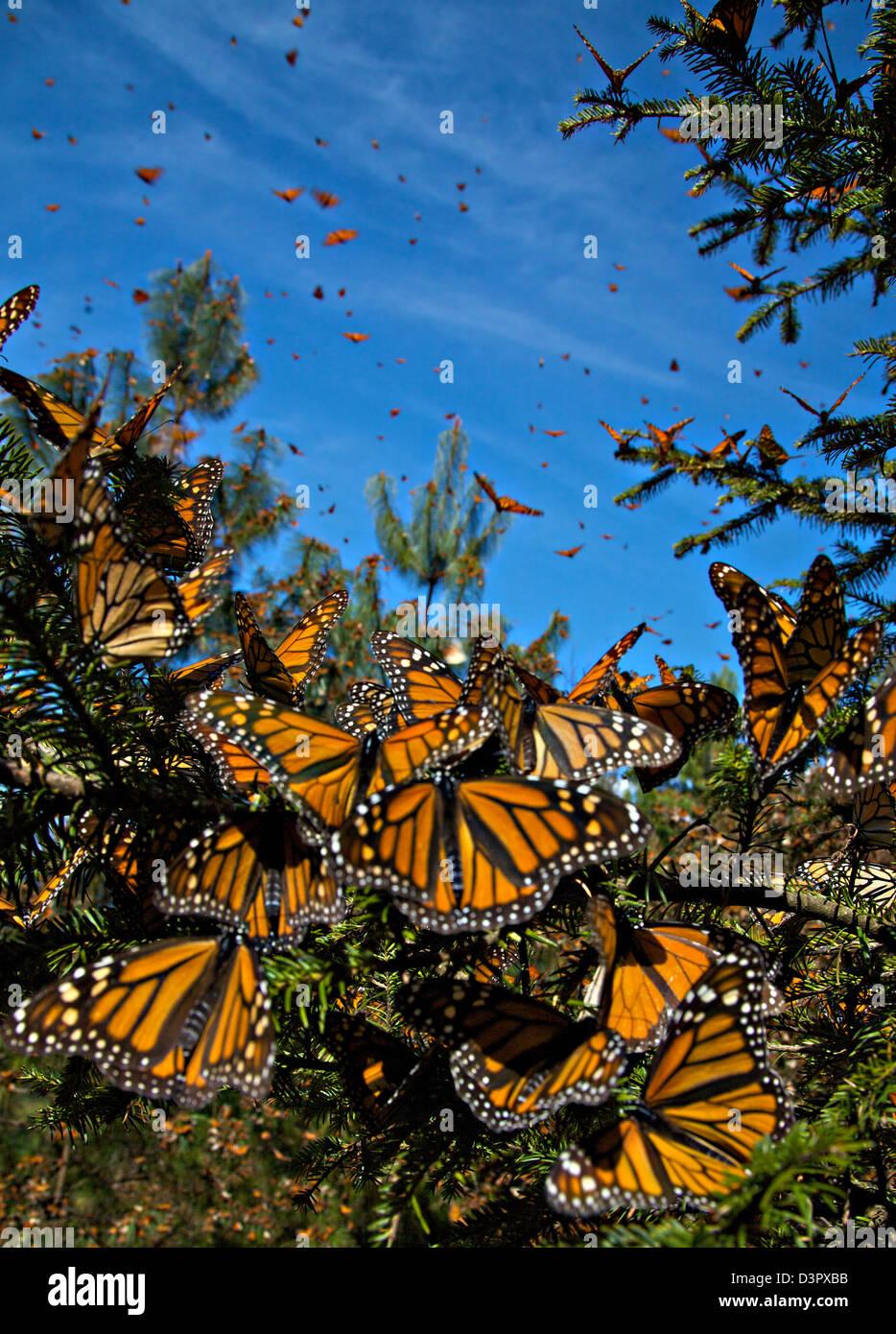 Les papillons monarques dans la masse de la montagne Sierra Pellon à la Réserve de biosphère du papillon Photo Stock
