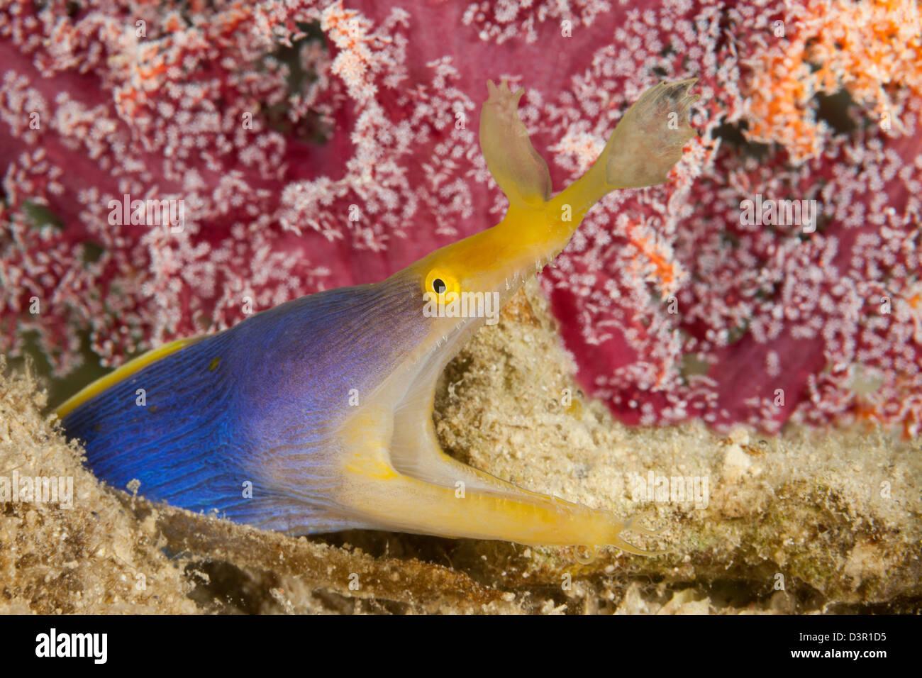 Un ruban bleu Rhinomuraena quaesita, anguille, Fidji. Photo Stock
