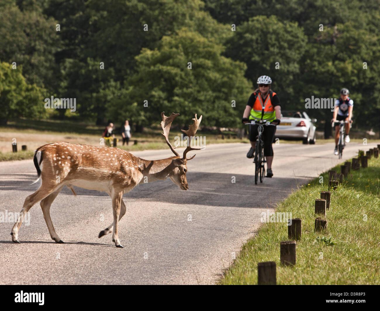 Les cyclistes à Richmond Park avec le cerf, UK Photo Stock