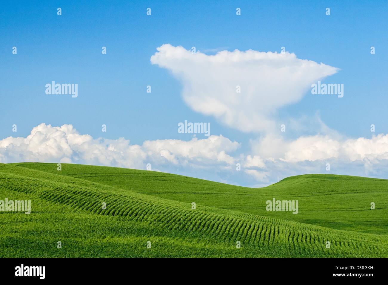 Champ de blé vert cumulous et nuages dans le ciel bleu; Washington, Palouse. Photo Stock