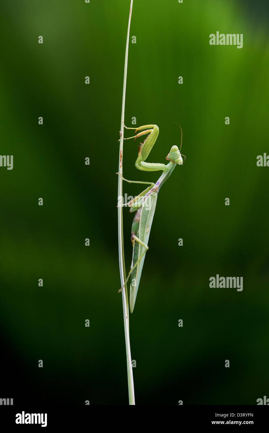 La mante religieuse sur une tige de la plante en face d'une palme dans l'Inde Photo Stock
