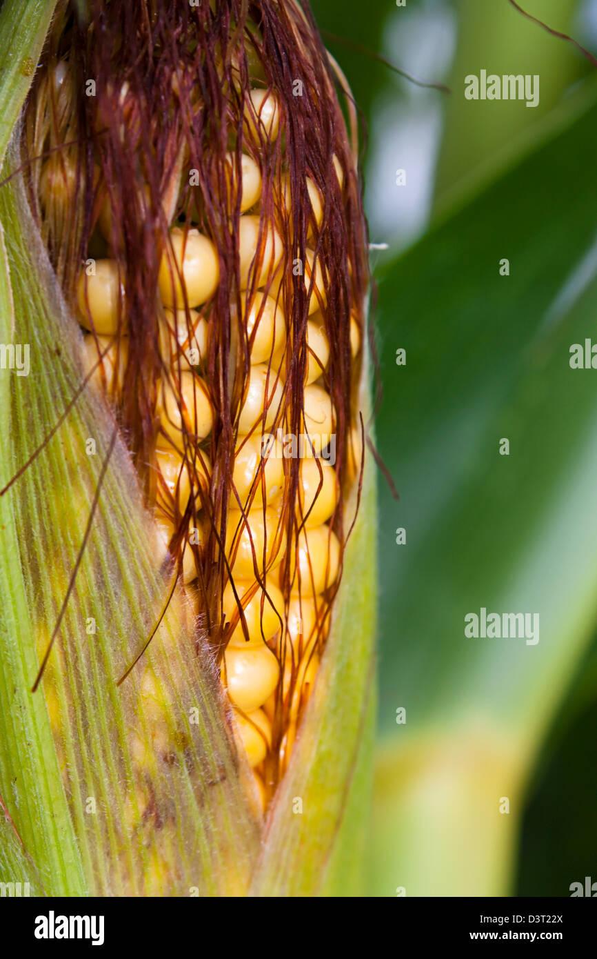 Maïs doux ou de maïs en gros plan dans la maturation sur la plante Photo Stock