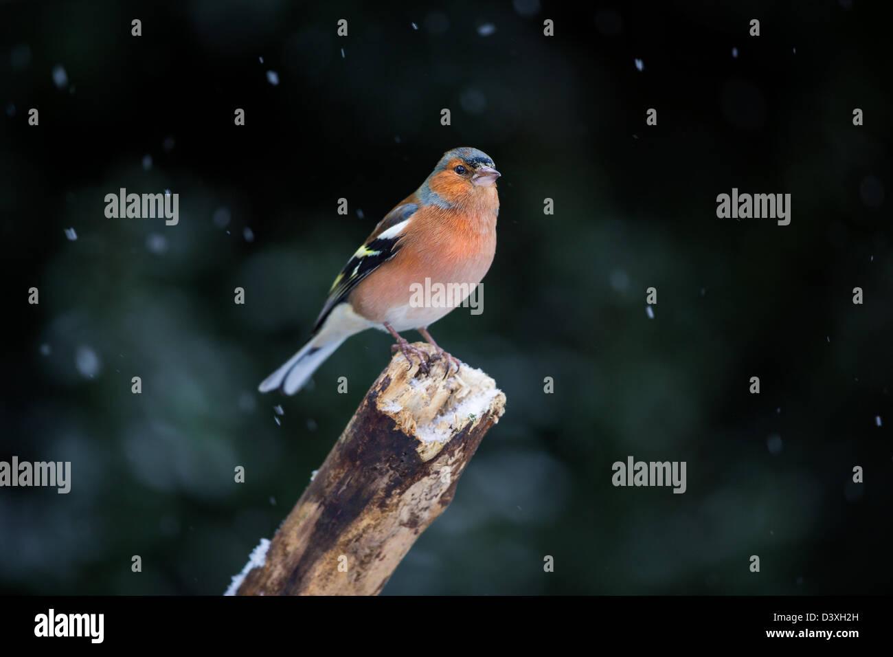 (Fringilla coelebs chaffinch mâle) perché sur une vieille branche lors d'une tempête de neige. Photo Stock