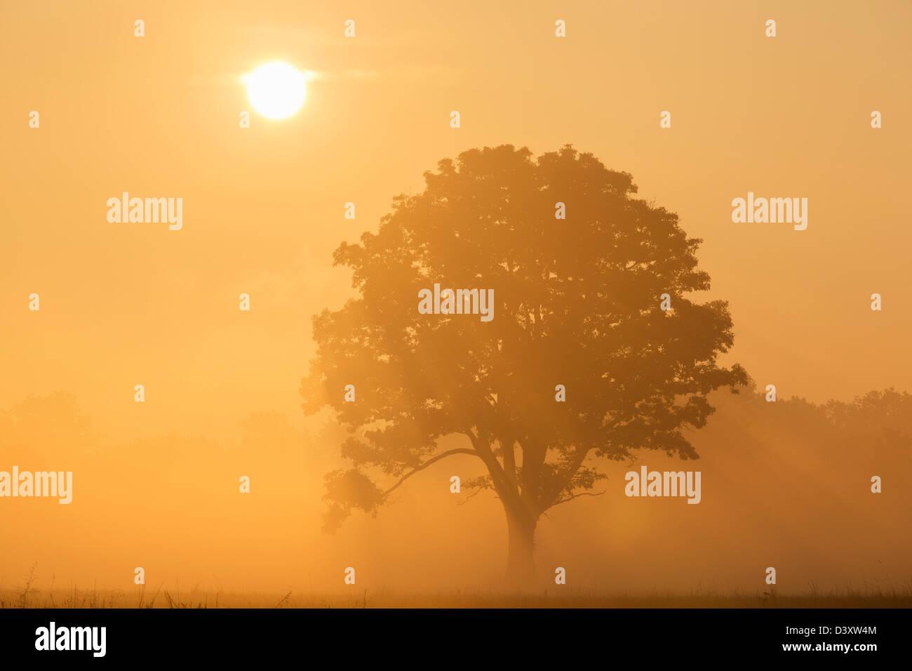 Arbre de chêne au lever du soleil Photo Stock