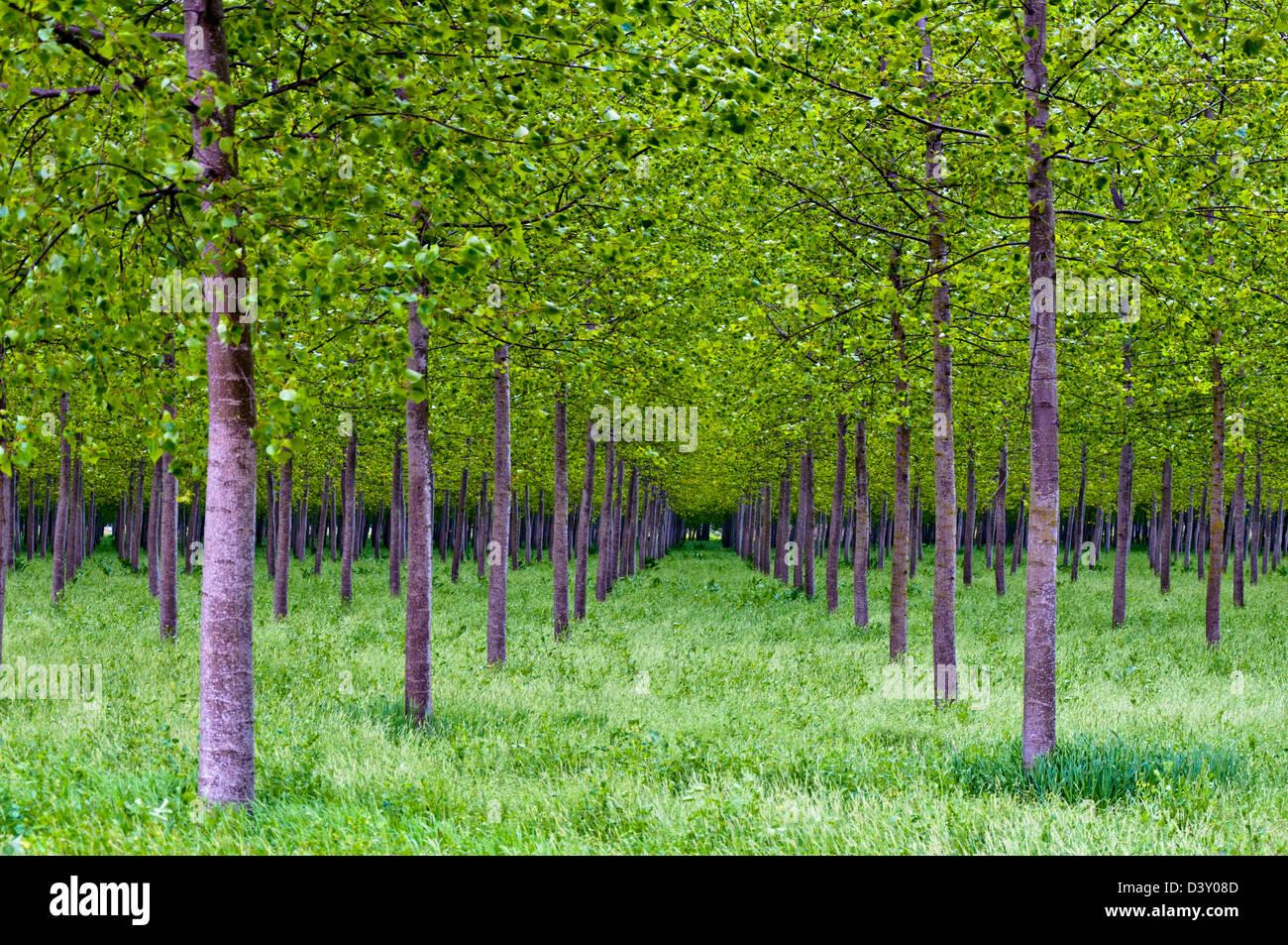Les peupliers forêt en vallée du Po, Italie Photo Stock