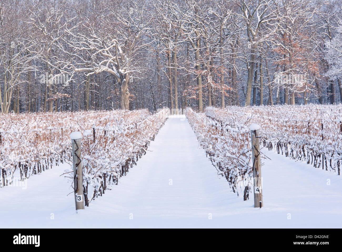 Canada, Ontario, Niagara-on-the-Lake, de raisin vigne en hiver Banque D'Images